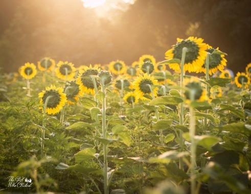 Hail the Sunshine (c) by TGWC Chloe